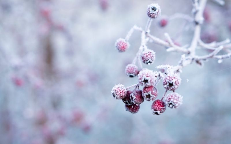 Branch with red berries covered in frost.